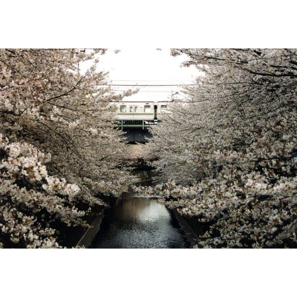 Cherry blossom. Tokyo, Japan, 2002.