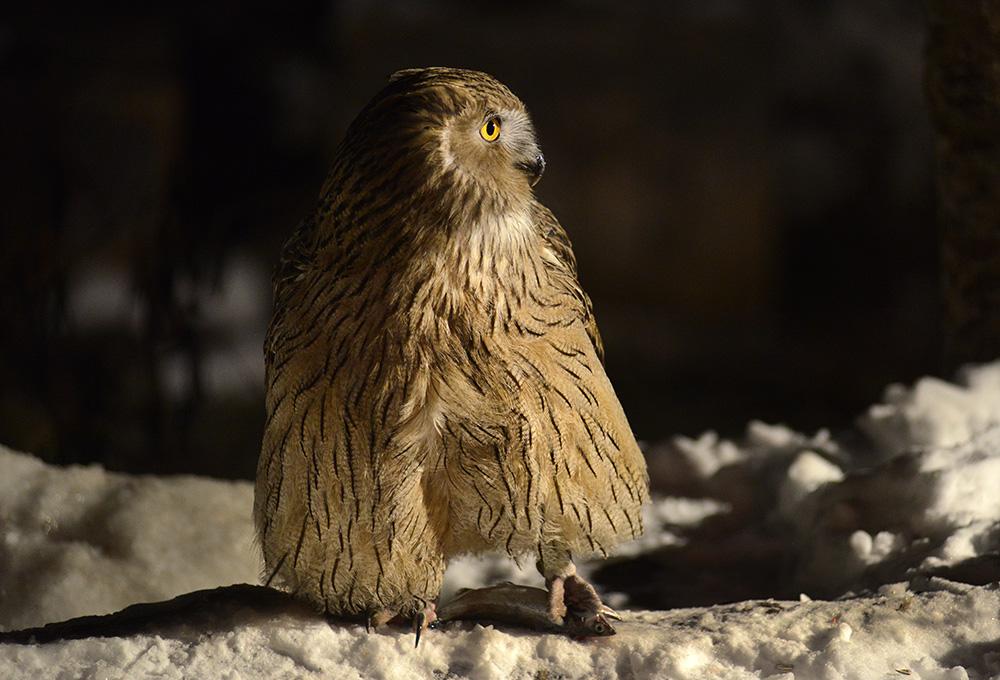 Owl in Hokkaido, photo tout to Japan