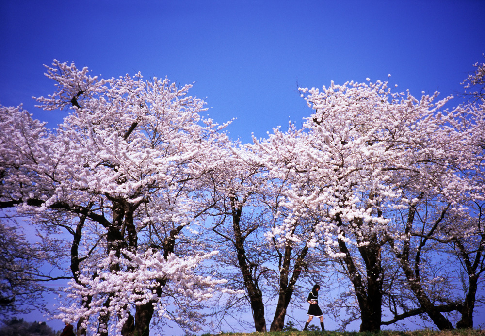 Cherry blossom in Kakunodate, photo tour to Japan