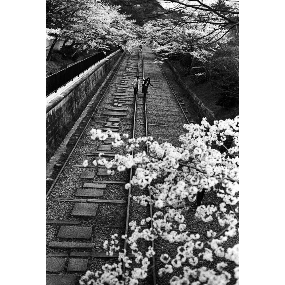 People take a walk along an old track under under cherry blossoms.