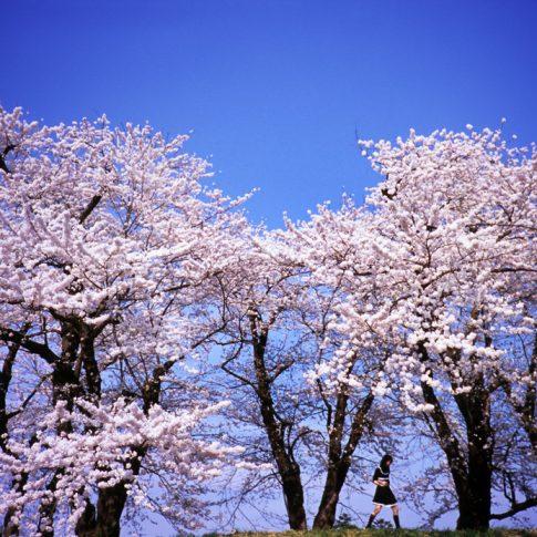 Sakura, cerezos en flor, en Kakunodate